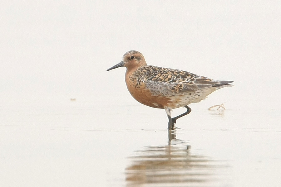 Red Knot wading in water