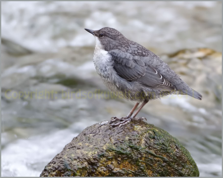 White-throated Dipper Cinclus cinclus ssp. caucasicus adult.