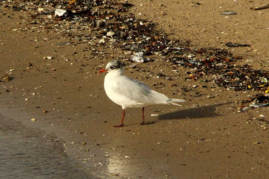 Mediterranean Gull walking close to shoreline