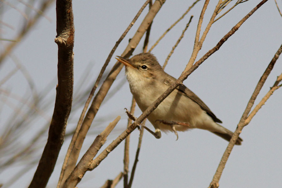 Sykes's Warbler perching on a tree