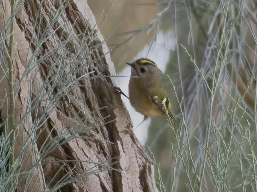 Goldcrest Regulus regulus on tree trunk