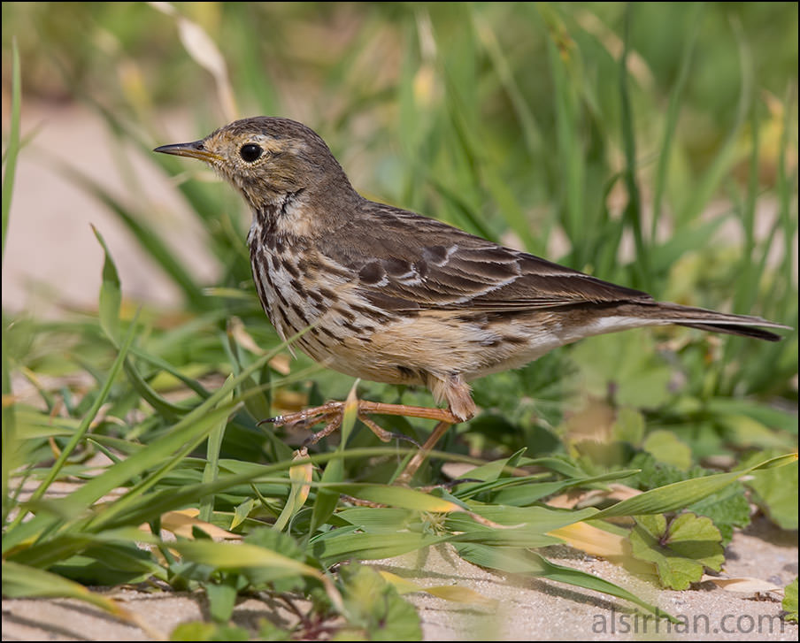 Buff-bellied Pipit on ground