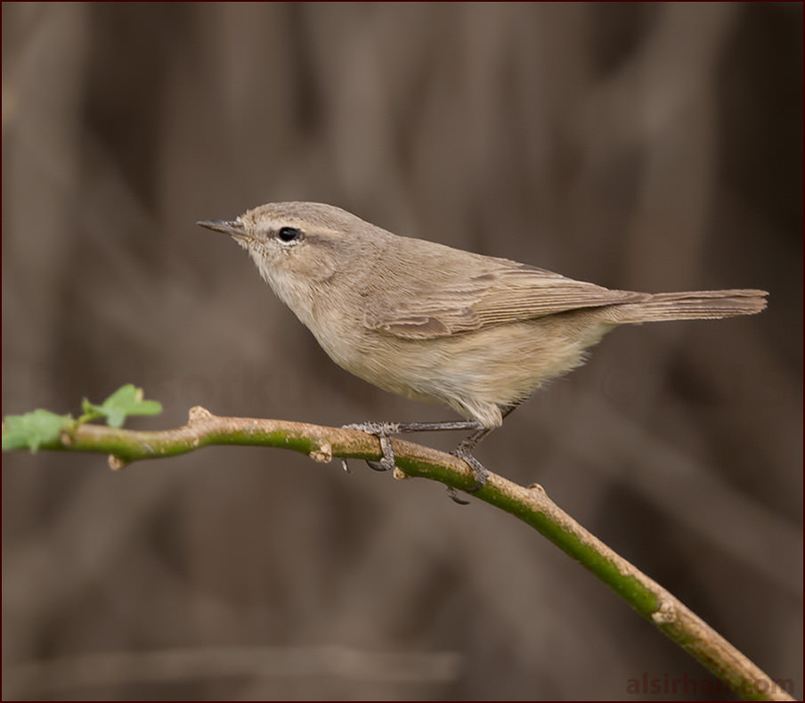 Plain Leaf Warbler perching on a branch