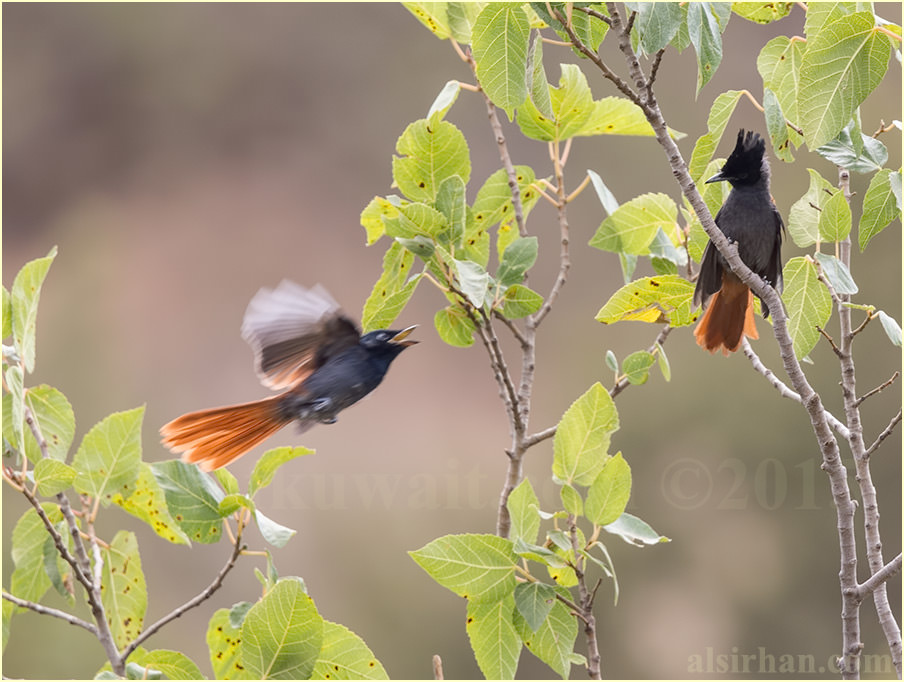 Two African Paradise-Flycatcher perched on top of a tree