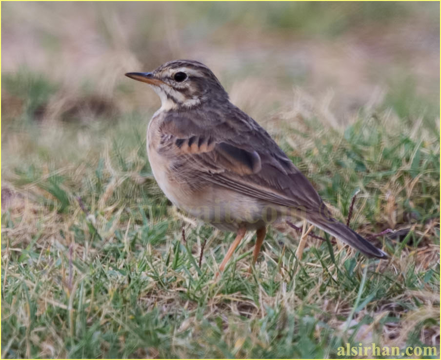 African pipit standing on ground