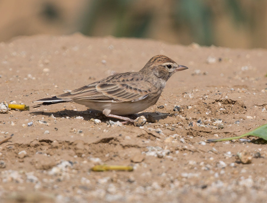 Blanford's Short-toed Lark perched on the ground