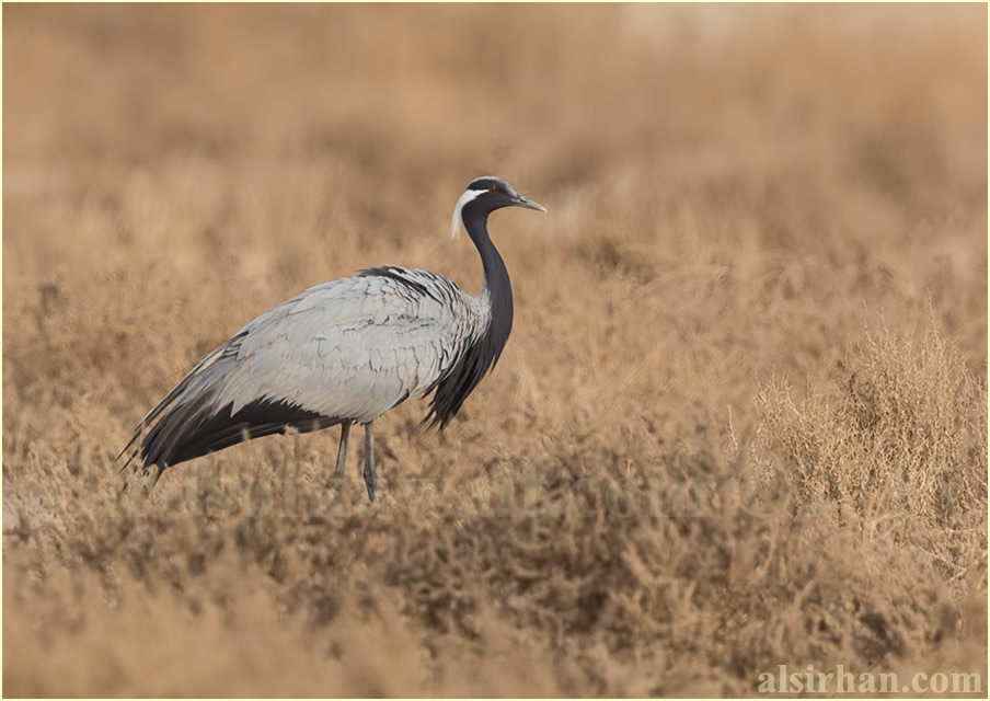 Demoiselle Crane perched on the ground