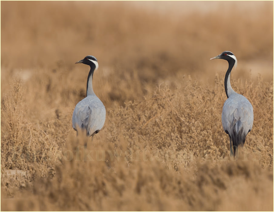 Two Demoiselle Cranes perched on a tree branch
