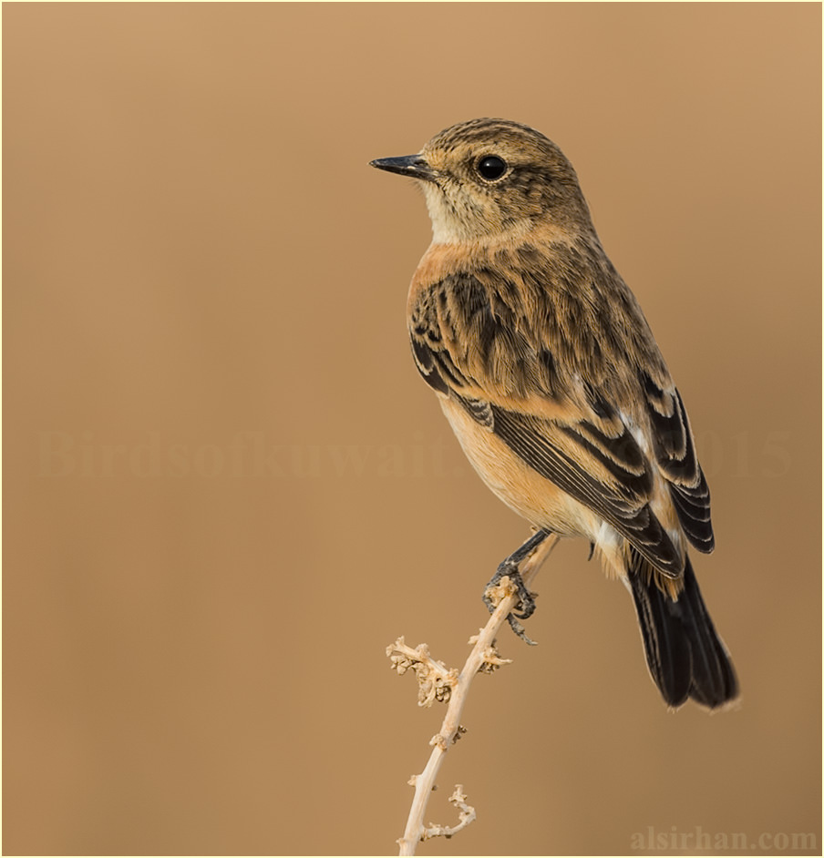European Stonechat perched on top of a bush