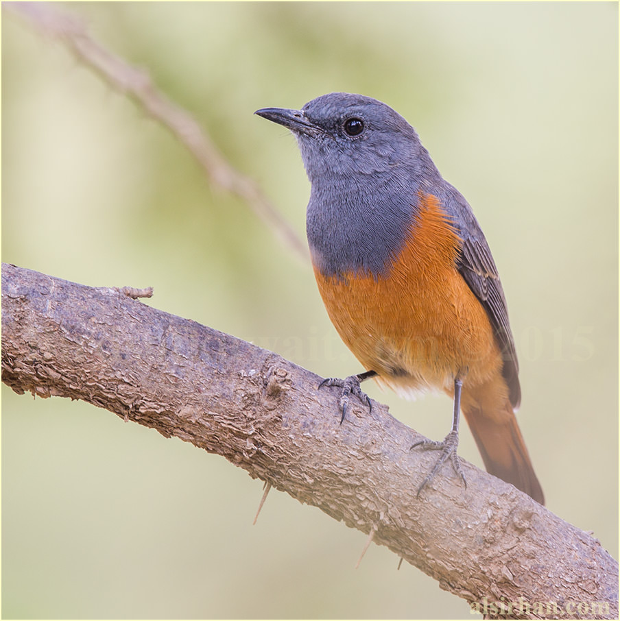 Little Rock-Thrush perched on a tree branch