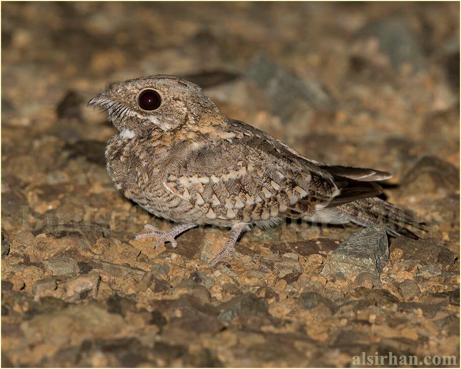 Nubian Nightjar perched on the ground