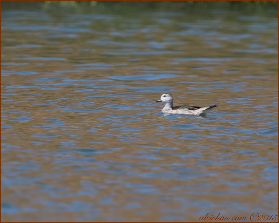 Cotton Pygmy-Goose (Nettapus coromandelianus)