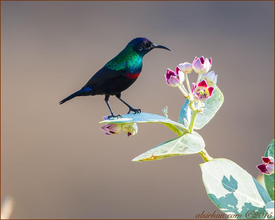 Shining Sunbird (Cinnyris habessinicus)