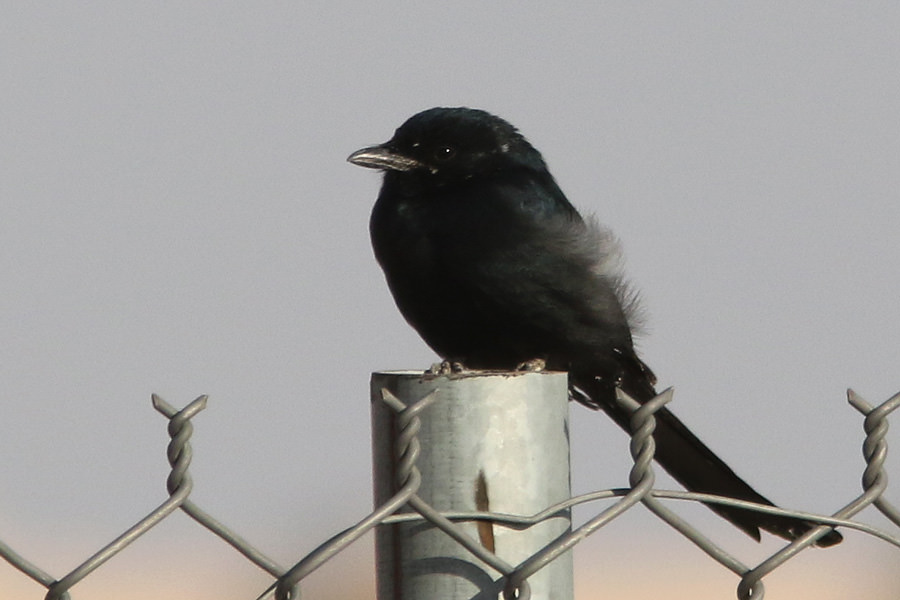 Black Drongo perched on a fence