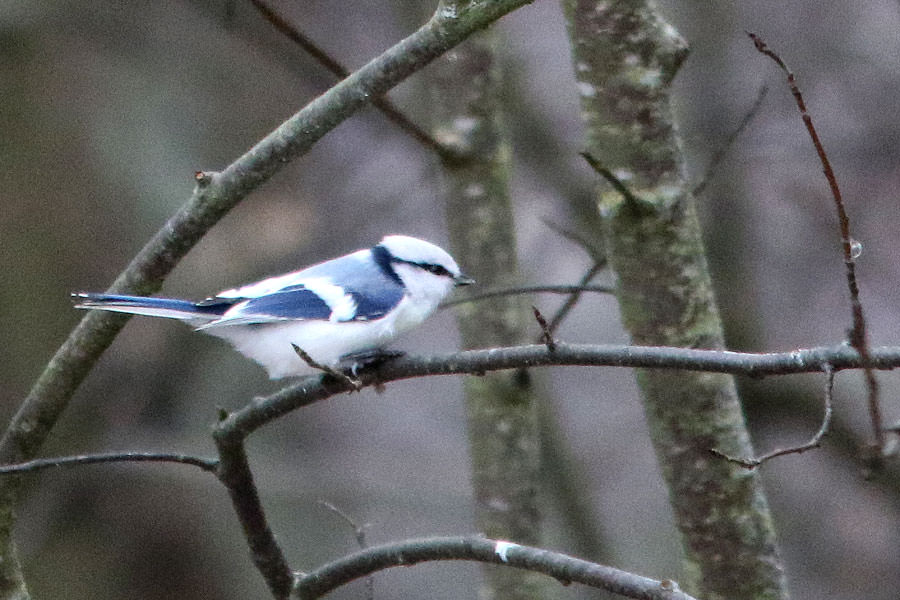 Azure Tit perched on a branch of a tree