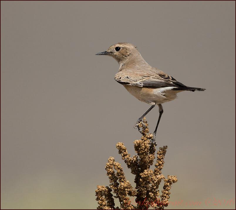 Desert Wheatear Oenanthe deserti (female)