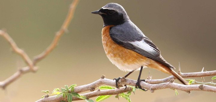 Ehrenberg's or Common Redstart perched on a branch of a tree