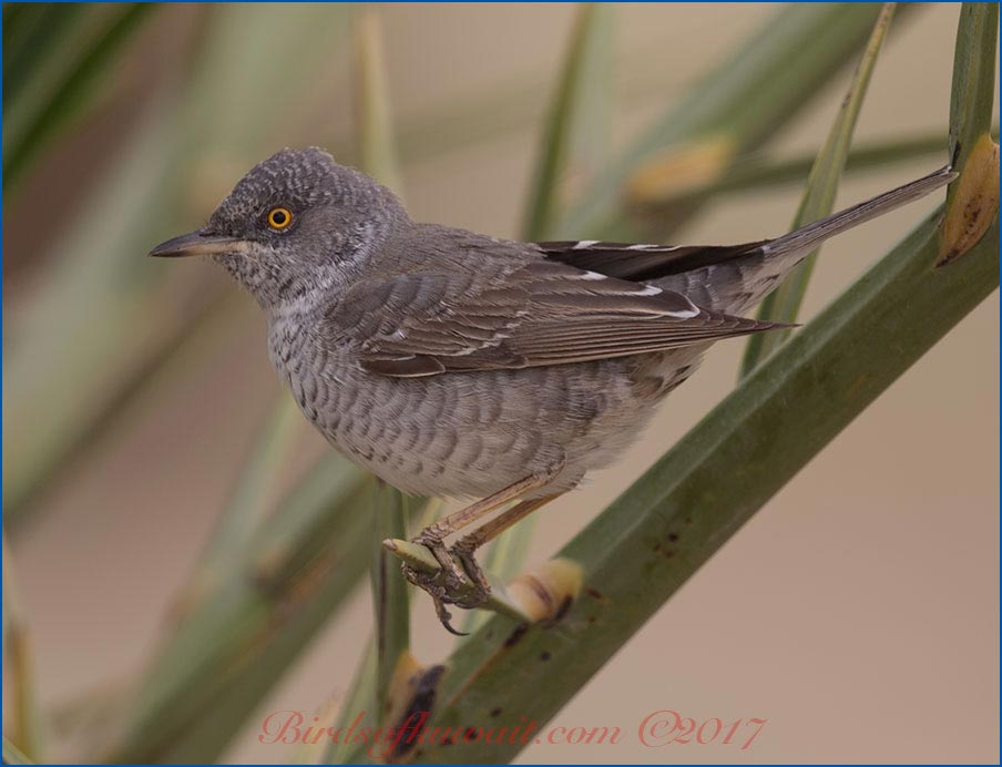 Barred Warbler on date palm leaves