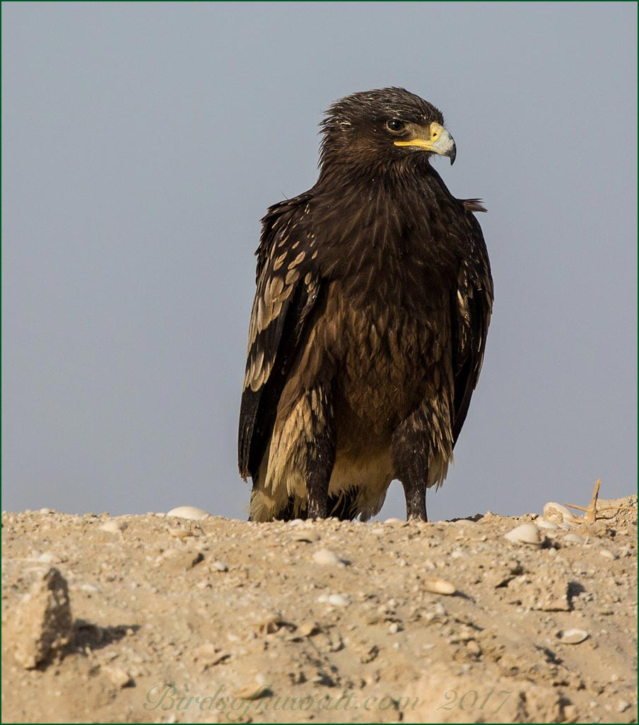Greater Spotted Eagle perched on sandbar