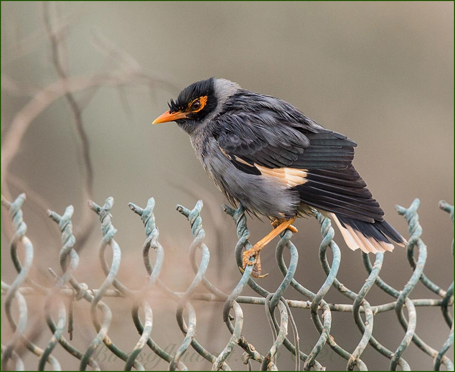 Bank Myna perching on a fence