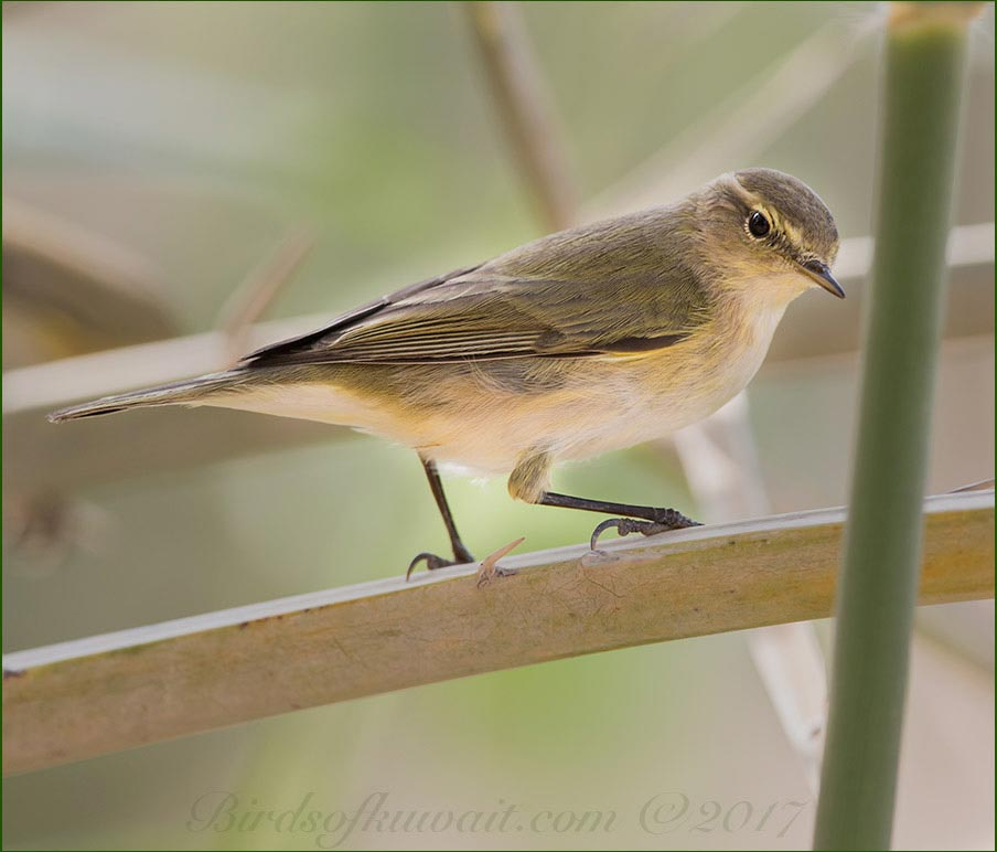 A Common Chiffchaff is perched on a palm tree leaf