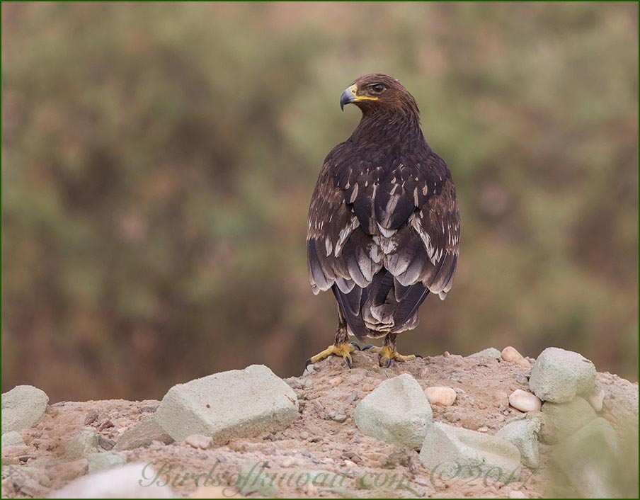 Greater Spotted Eagle on a hill