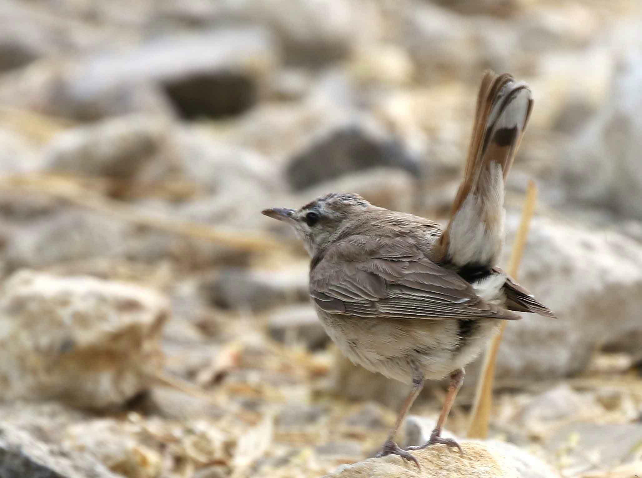 Rufous-tailed Scrub Robin on a rock