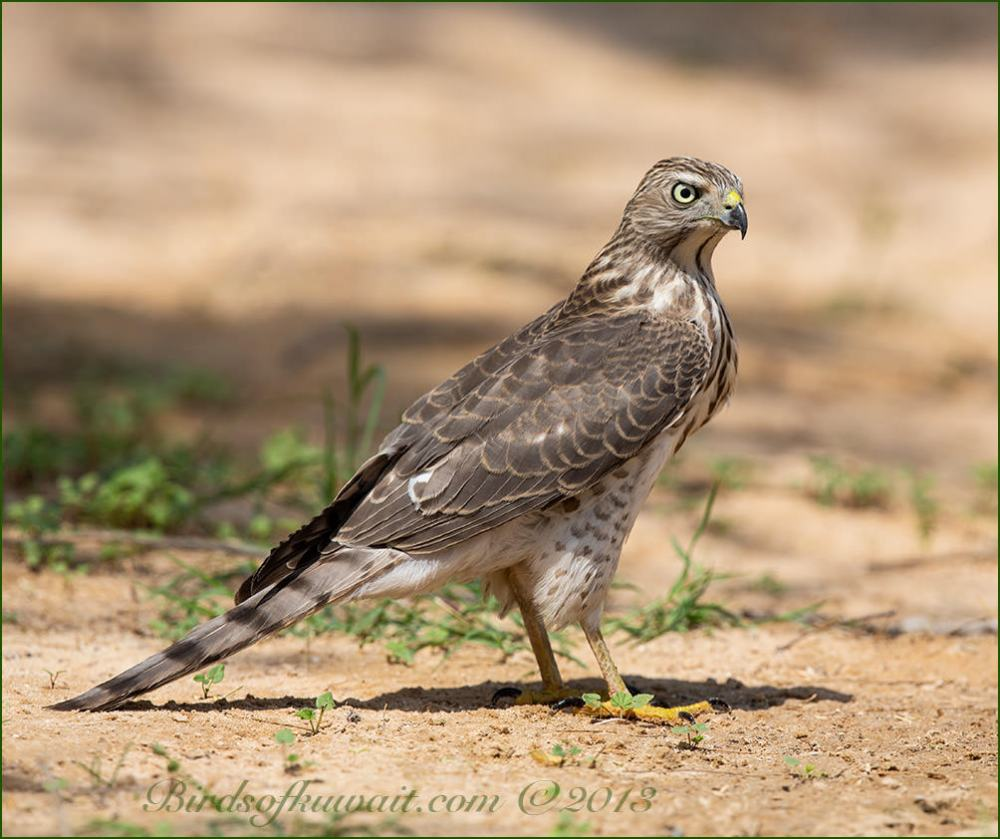 Asian Shikra standing on ground