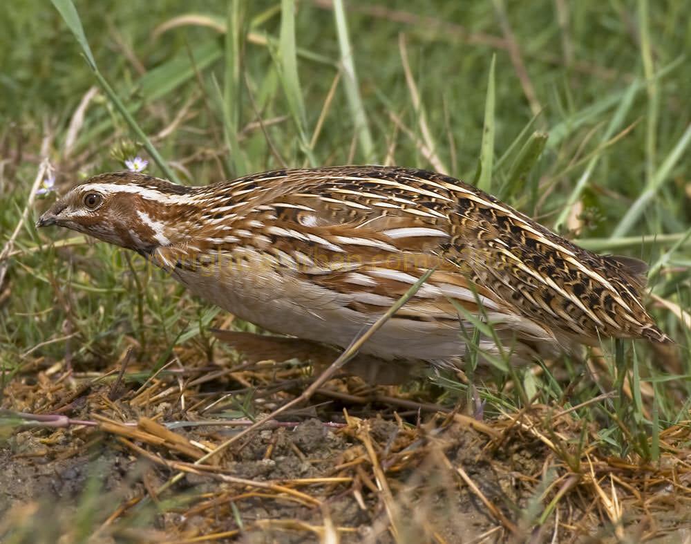 Common Quail feeding on ground