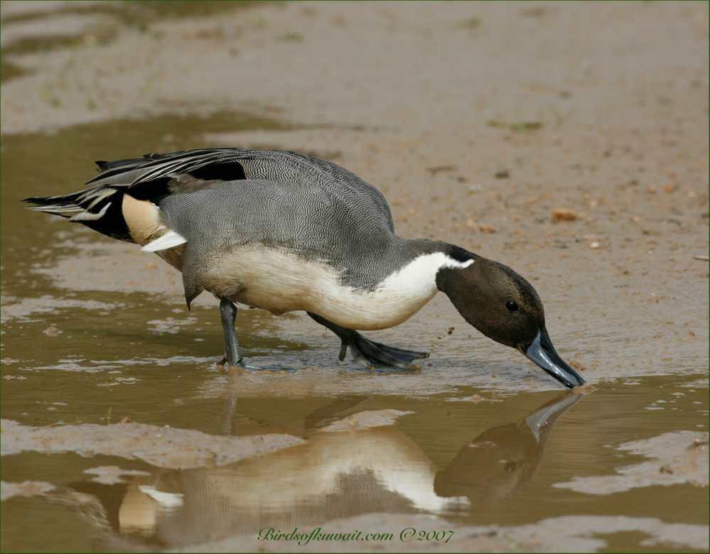 Northern Pintail feeding in a rain pool