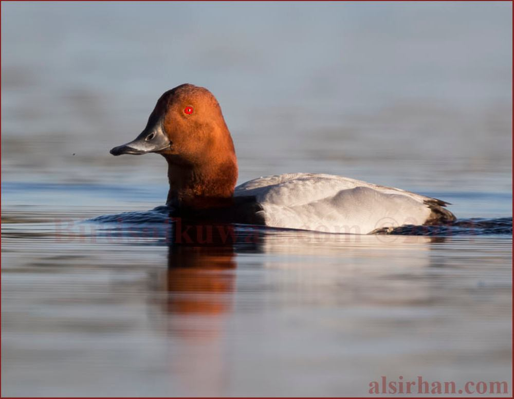 Common Pochard swimming in water