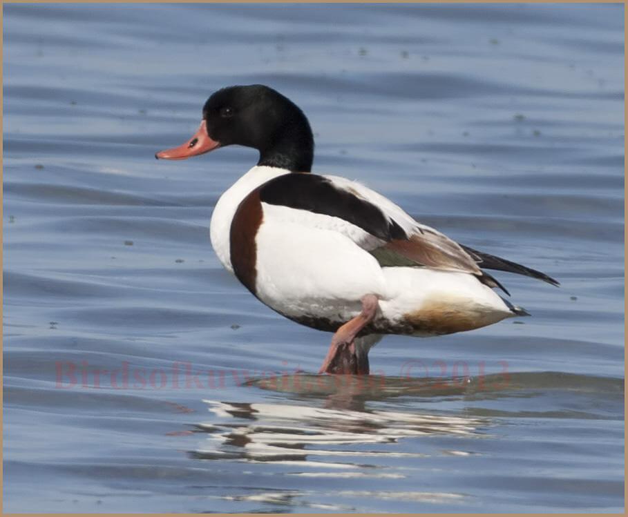 Common Shelduck swimming in water