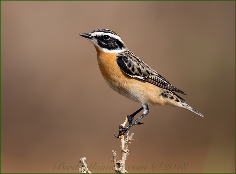 Whinchat perched on a stem of a plant