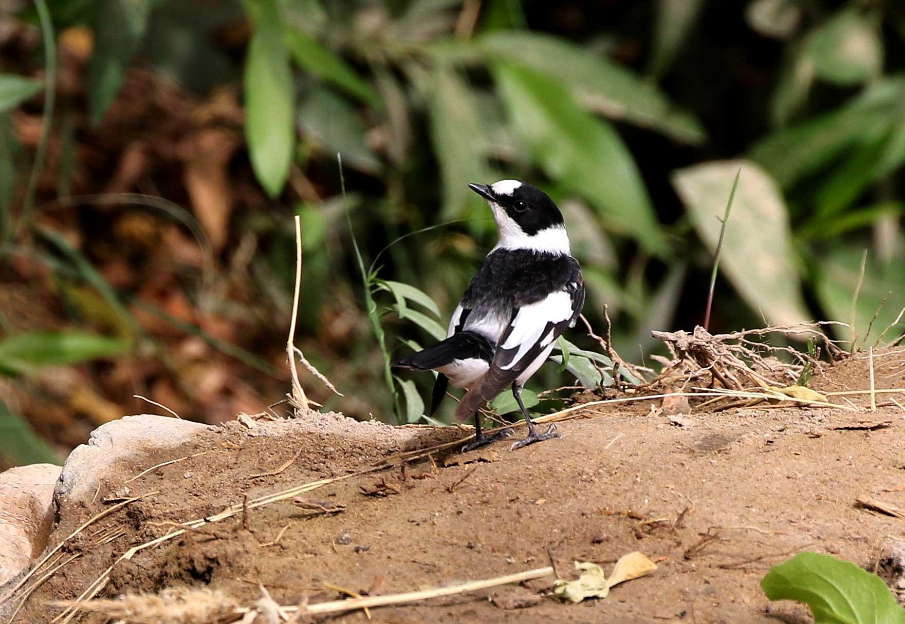 Collared Flycatcher Ficedula albicollis