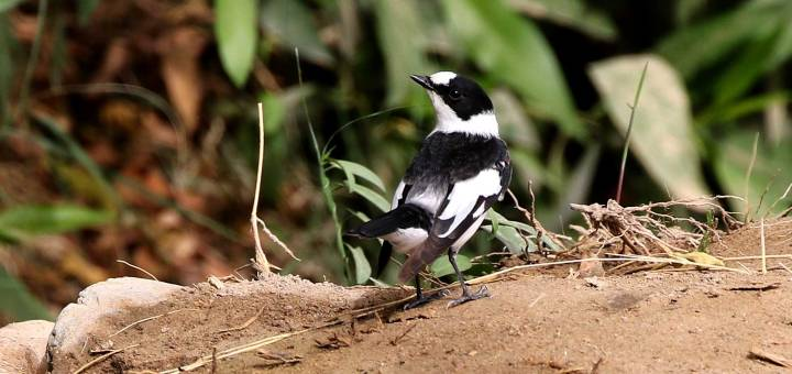 Collared Flycatcher perched on grounds