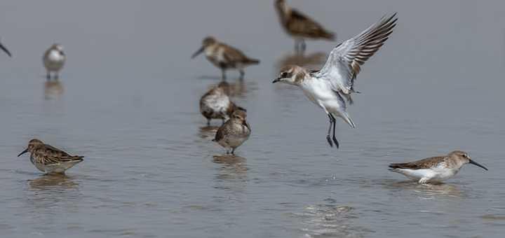 Lesser Sand Plover landing in water