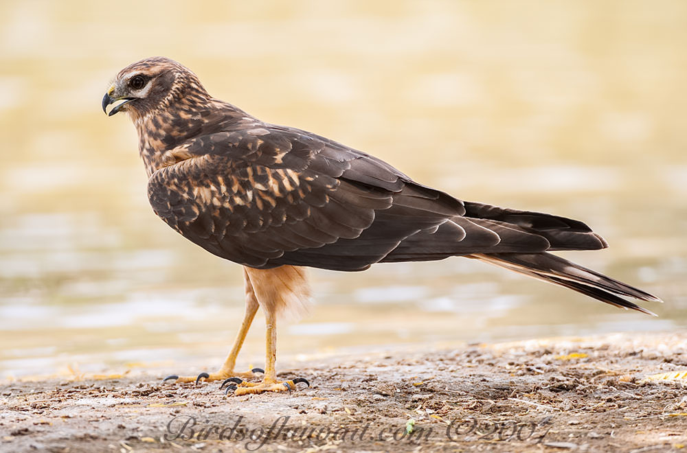 Pallid Harrier perched on ground