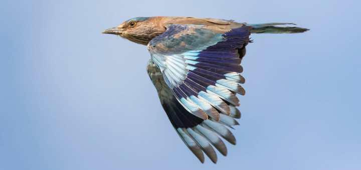 Indian Roller in flight