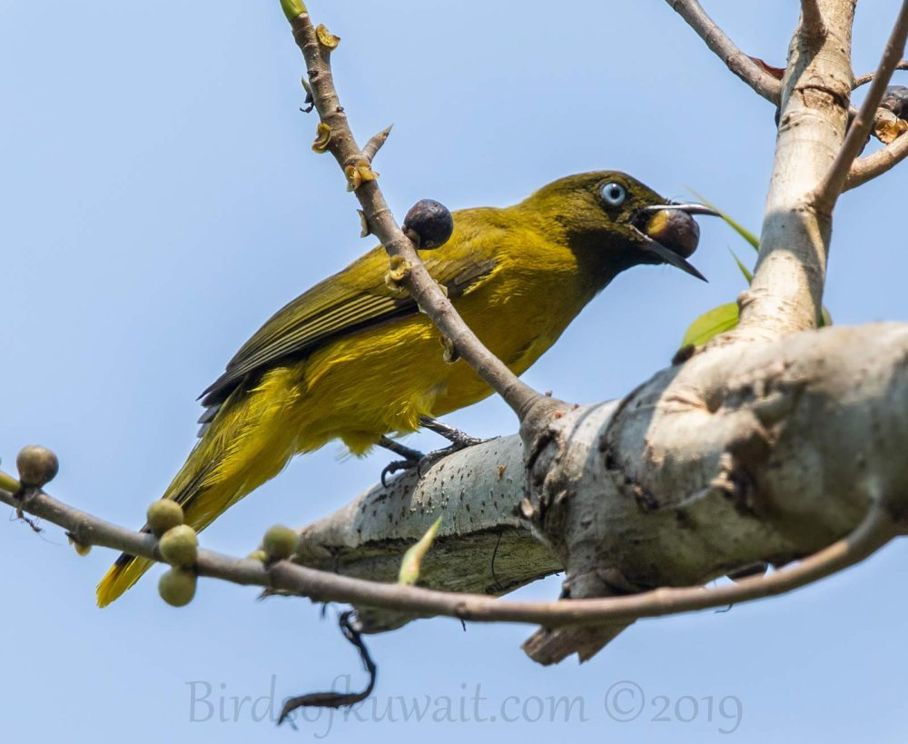 Andaman Bulbul perching on a branch of a tree