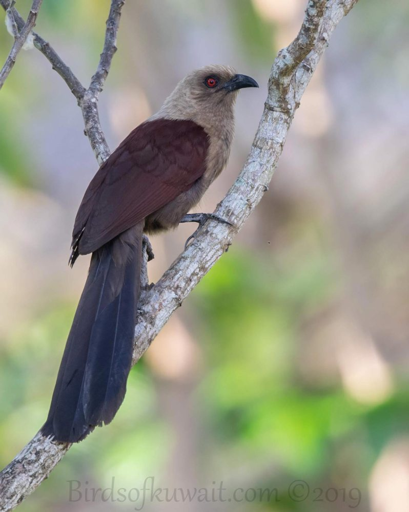 Andaman Coucal perching on a branch of a tree