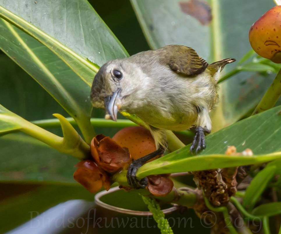 Andaman Flowerpecker perching on a leaf of a plant