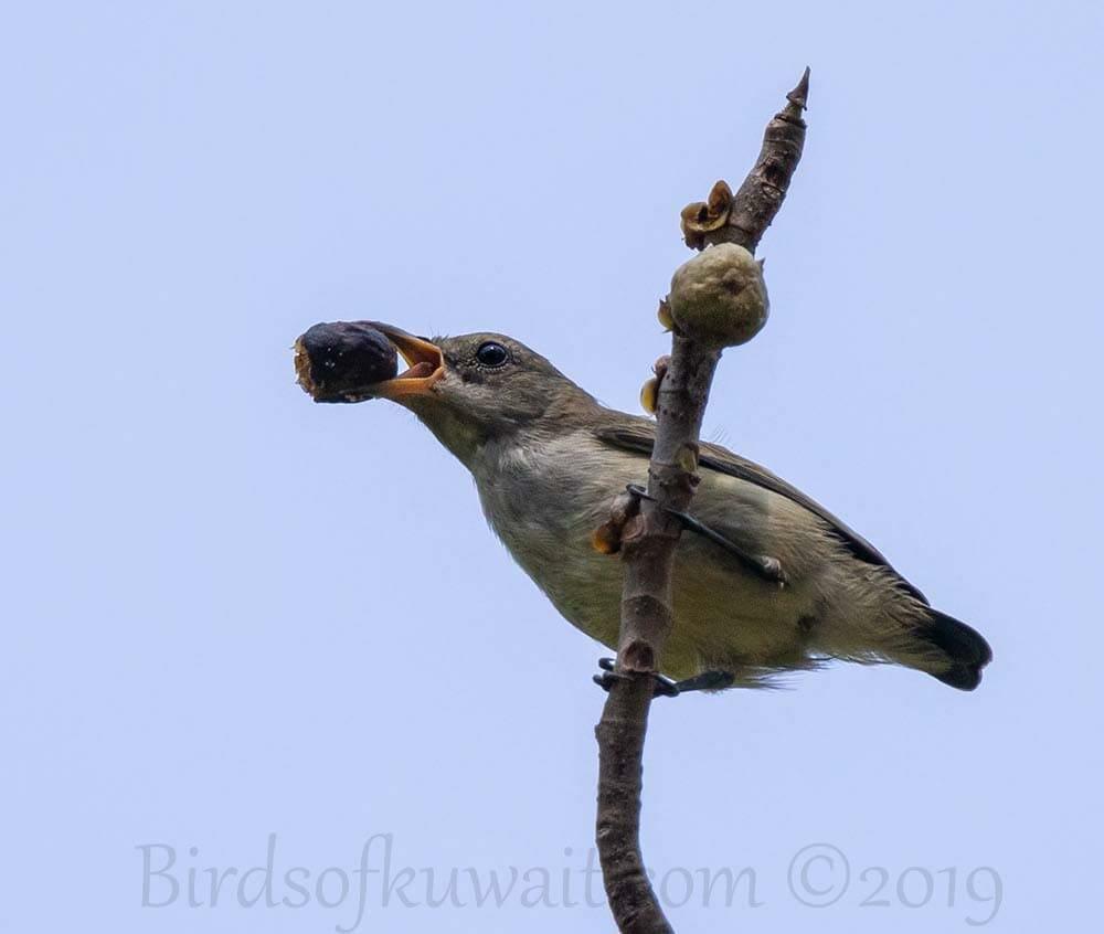 Andaman Flowerpecker feeding on a berry