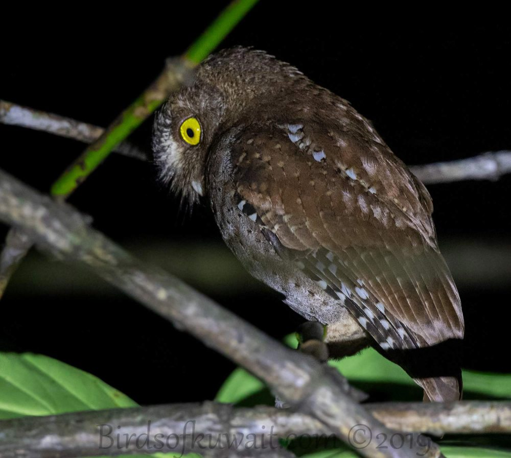 Andaman Scops Owl perching on a branch of a tree