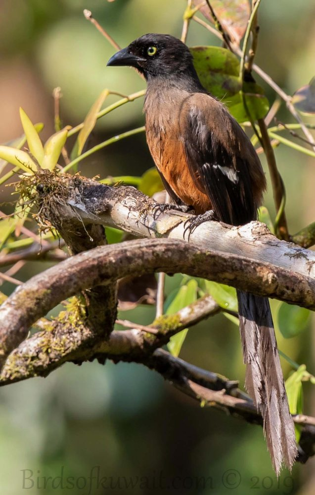 Andaman Treepie perching on a branch of a tree
