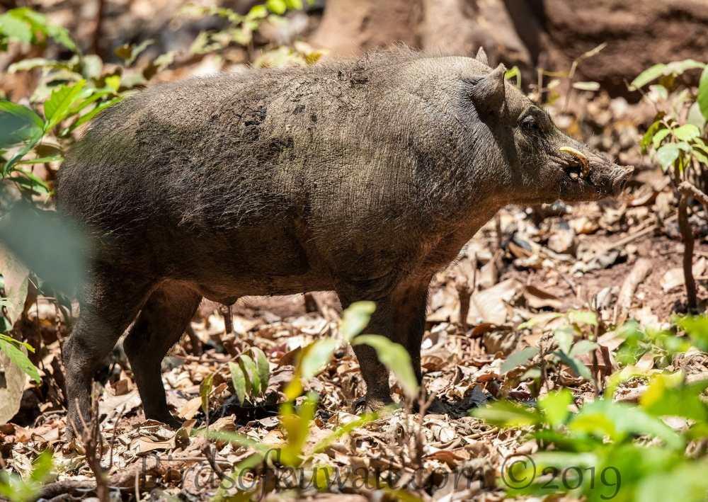 Andaman Wild Pig in profile