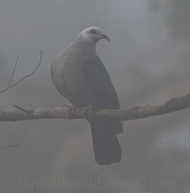 Andaman Wood-Pigeon perching on a branch of a tree