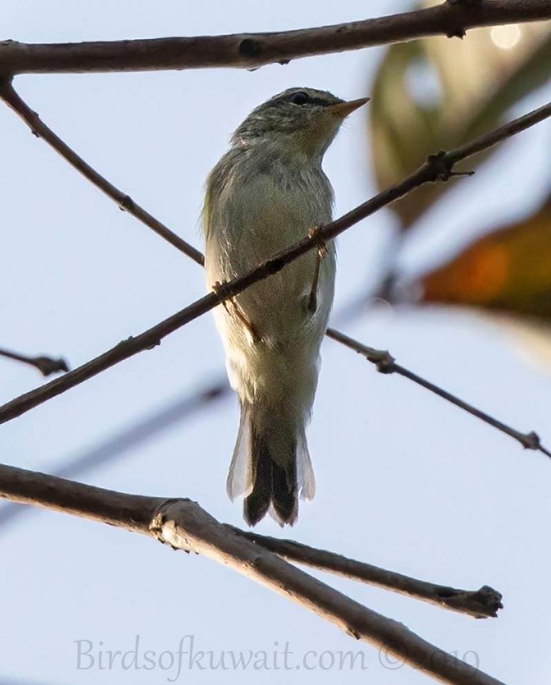Arctic Warbler perching on a branch of a tree