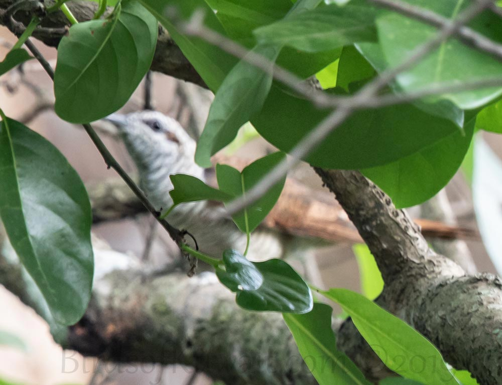 Banded Bay Cuckoo perching on a branch of a tree