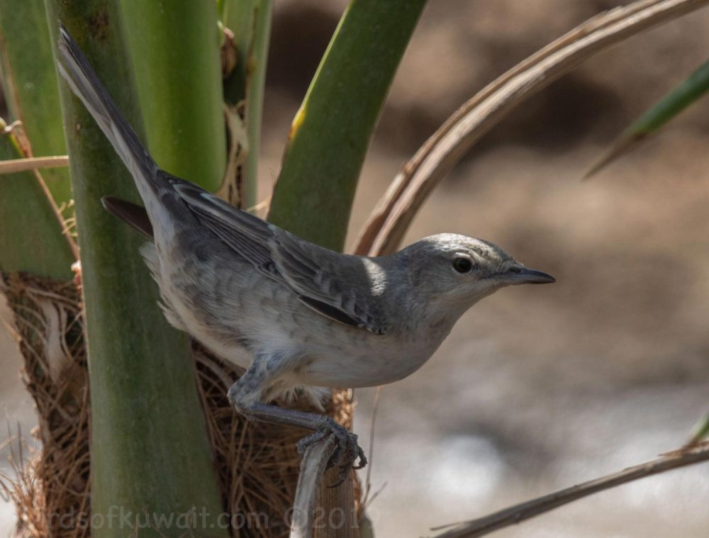 Barred Warbler perching on a branch of a tree