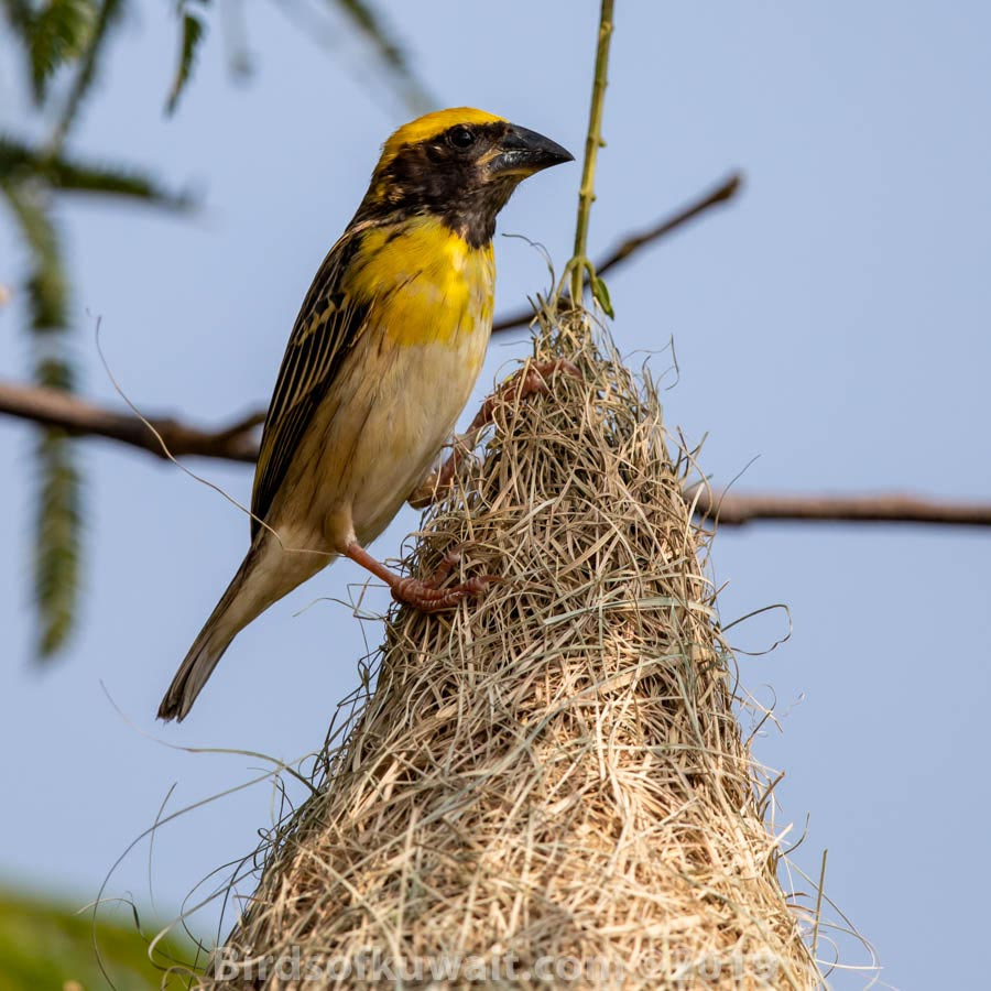 Baya Weaver on its nest